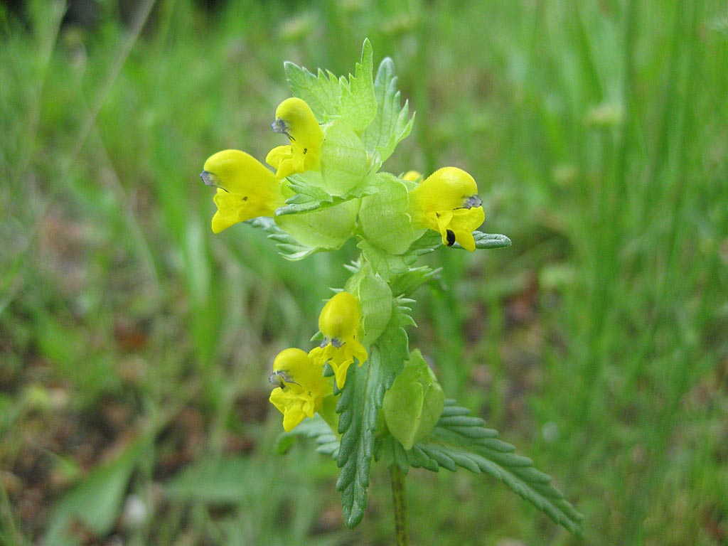 Rhinanthus minor