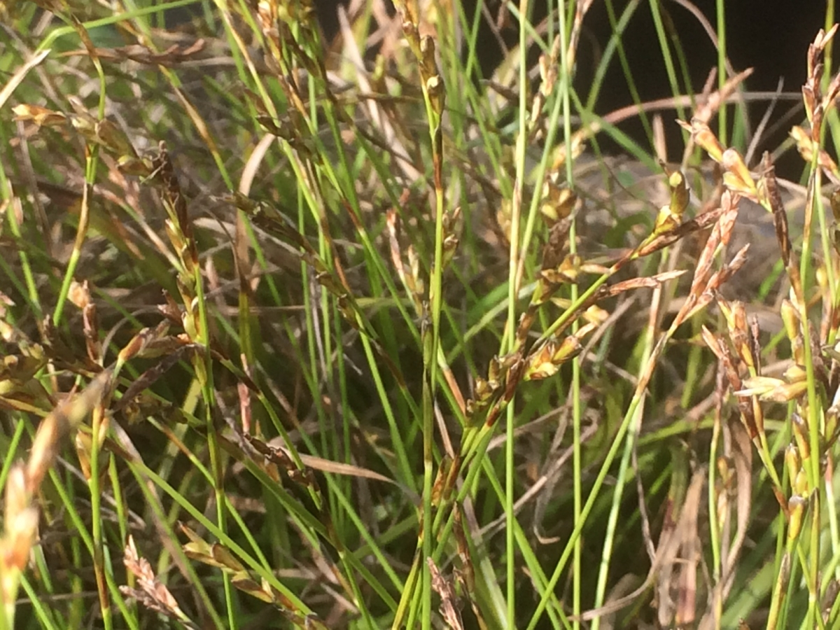 Vingerzegge Carex digitata