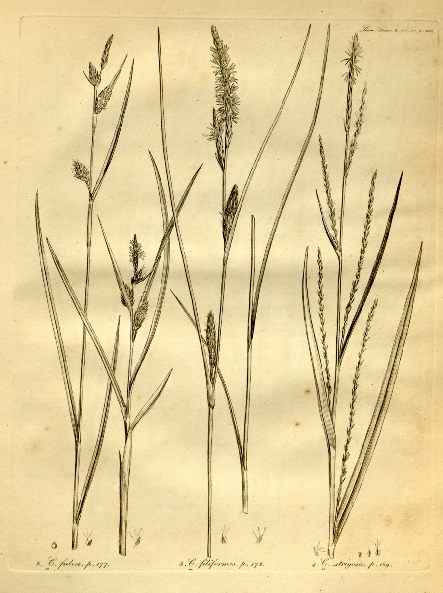 Carex strigosa