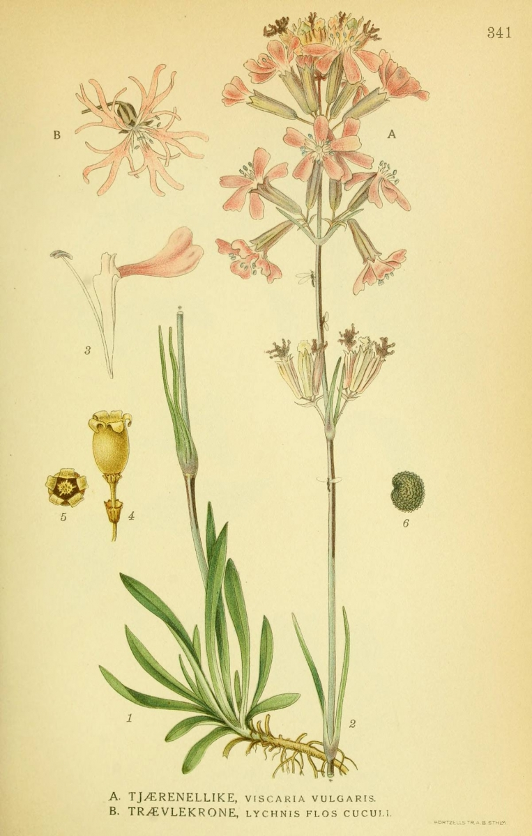 Silene viscaria