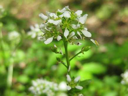 Cochlearia officinalis subsp. officinalis - Echt lepelblad